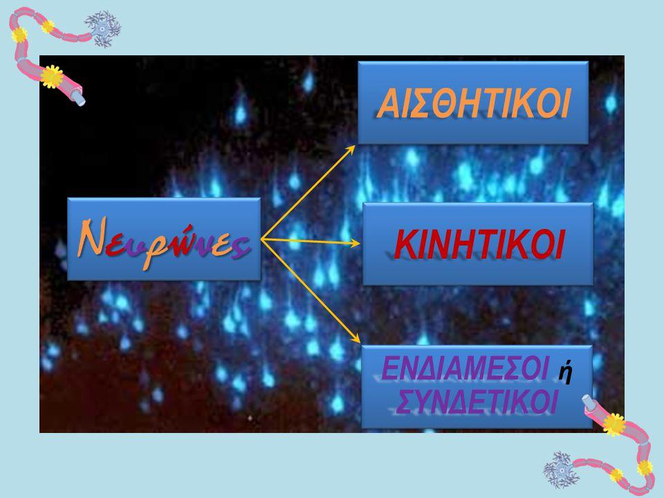 ΝευρώνεςΝευρώνεςΝευρώνεςΝευρώνες ΝευρώνεςΝευρώνεςΝευρώνεςΝευρώνες ΑΙΣΘΗΤΙΚΟΙΑΙΣΘΗΤΙΚΟΙ ΚΙΝΗΤΙΚΟΙΚΙΝΗΤΙΚΟΙ ΕΝΔΙΑΜΕΣΟΙ ή ΣΥΝΔΕΤΙΚΟΙ ΣΥΝΔΕΤΙΚΟΙ