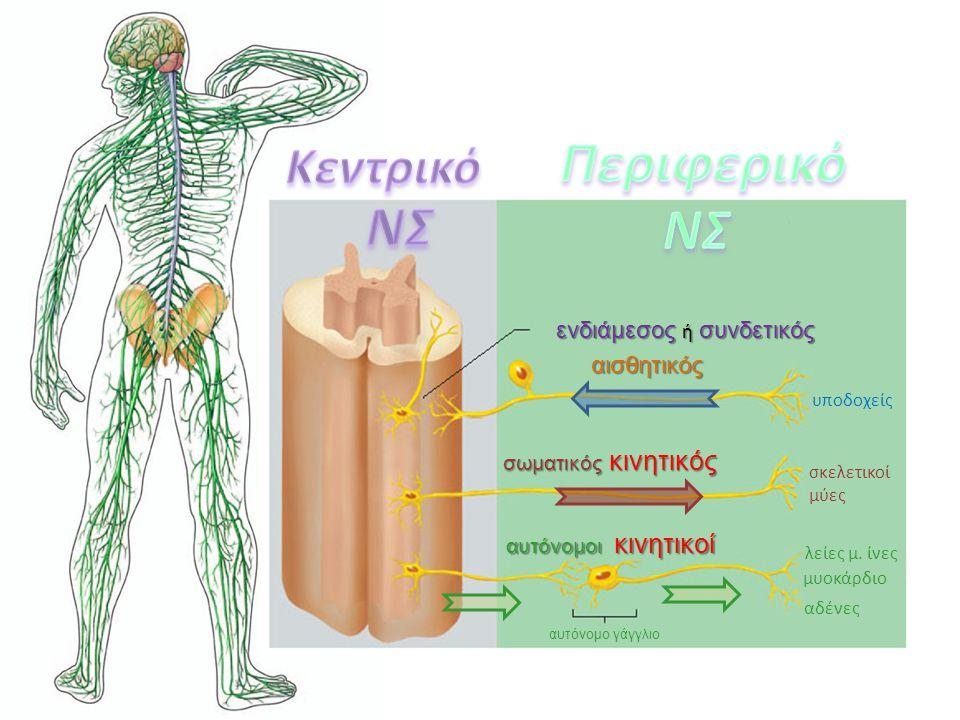 αισθητικός υποδοχείς σωματικός κινητικός σκελετικοί μύες αυτόνομοι κινητικοί λείες μ. ίνες μυοκάρδιο αδένες αυτόνομο γάγγλιο ενδιάμεσος ή συνδετικός