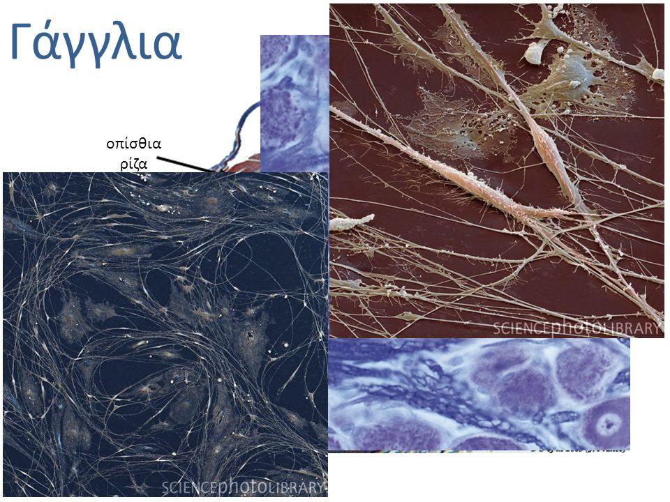 Γάγγλια φαιά ουσία λευκή ουσία κεντρικός νευρικός σωλήνας οπίσθια ρίζα πρόσθια ρίζα γάγγλιο οπίσθιας ρίζας