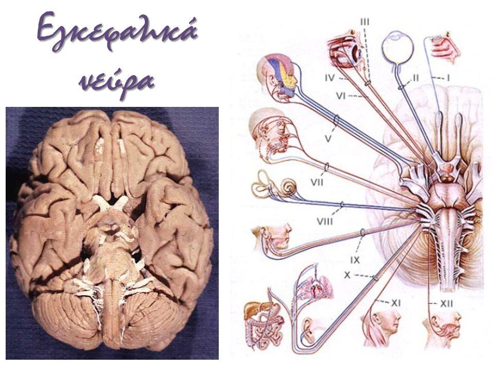 Νωτιαία νεύρα άτλας αυχενική μοίρα του νωτιαίου μυελού σπόνδυλος Τ 1 θωρακική μοίρα του νωτιαίου μυελού οσφυϊκή μοίρα ιερά μοίρα ιππουρίδα αυχενικό πλέγμα αυχενικό όγκωμα βραχιόνιο πλέγμα οσφϋικό όγκωμα σπόνδυλος L 1 μυελικός κώνος οσφϋικό πλέγμα ιερό πλέγμα τελικό νημάτιο