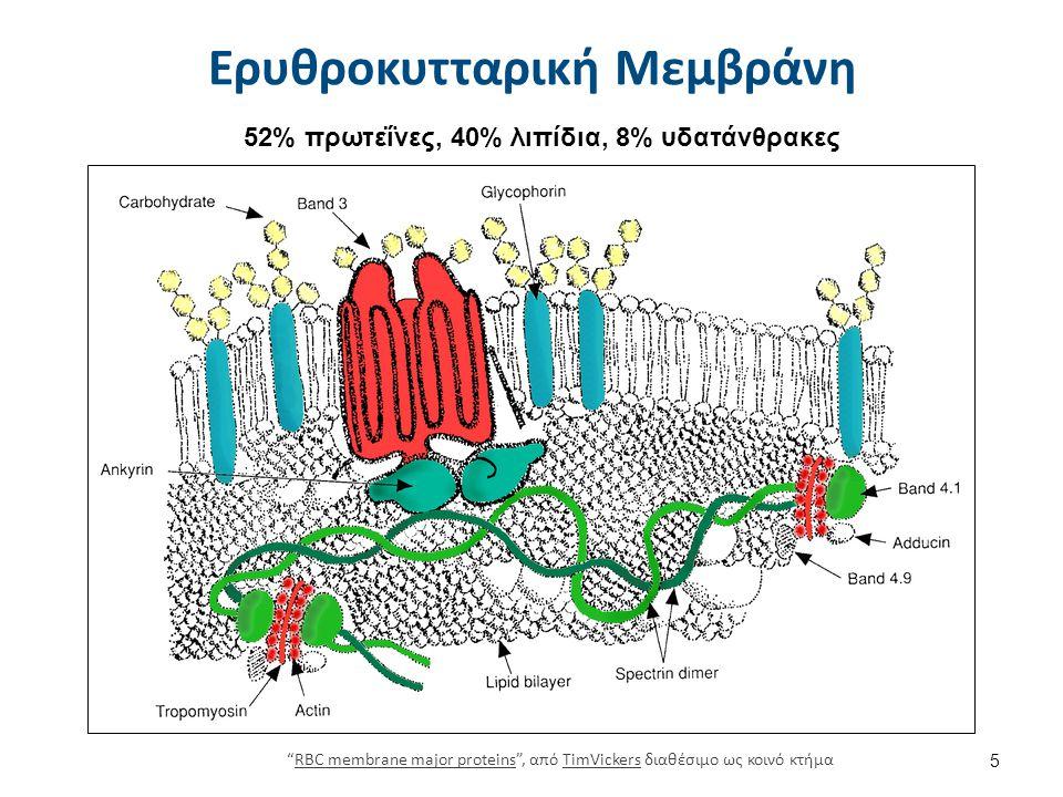 """52% πρωτεΐνες, 40% λιπίδια, 8% υδατάνθρακες Ερυθροκυτταρική Μεμβράνη 5 """"RBC membrane major proteins"""", από TimVickers διαθέσιμο ως κοινό κτήμαRBC membr"""