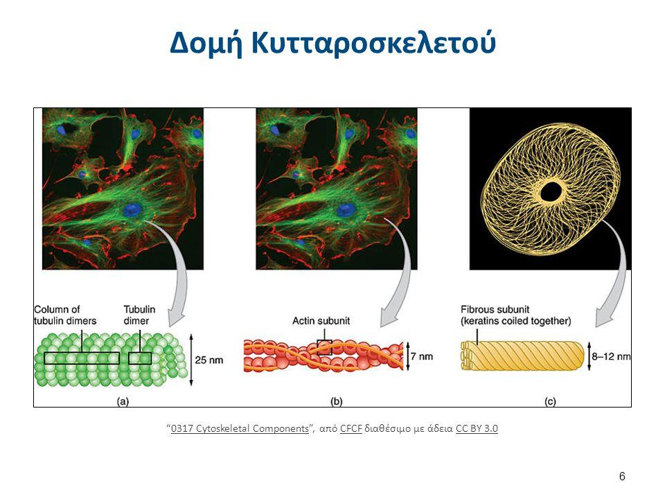 """Δομή Κυτταροσκελετού 6 """"0317 Cytoskeletal Components"""", από CFCF διαθέσιμο με άδεια CC BY 3.00317 Cytoskeletal ComponentsCFCFCC BY 3.0"""