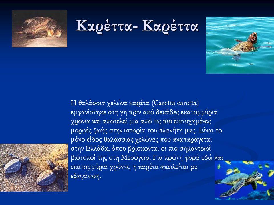 Καρέττα- Καρέττα Η θαλάσσια χελώνα καρέτα (Caretta caretta) εμφανίστηκε στη γη πριν από δεκάδες εκατομμύρια χρόνια και αποτελεί μια από τις πιο επιτυχημένες μορφές ζωής στην ιστορία του πλανήτη μας.
