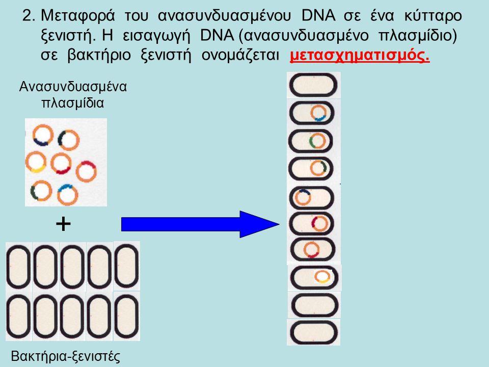 Η κλωνοποίηση ενός γονίδιου με την χρήση της τεχνολογίας του ανασυνδυασμένου DNA περιλαμβάνει γενικά τα εξής στάδια: 1.Κατασκευή του ανασυνδυασμένου DNA.