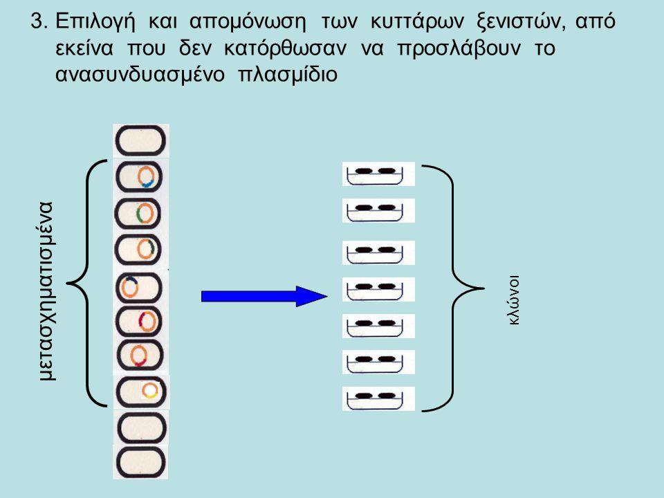 2.Μεταφορά του ανασυνδυασμένου DNA σε ένα κύτταρο ξενιστή.