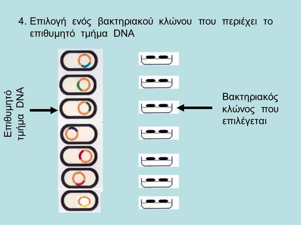 4.Επιλογή ενός βακτηριακού κλώνου που περιέχει το επιθυμητό τμήμα DNA Επιθυμητό τμήμα DNA Βακτηριακός κλώνος που επιλέγεται