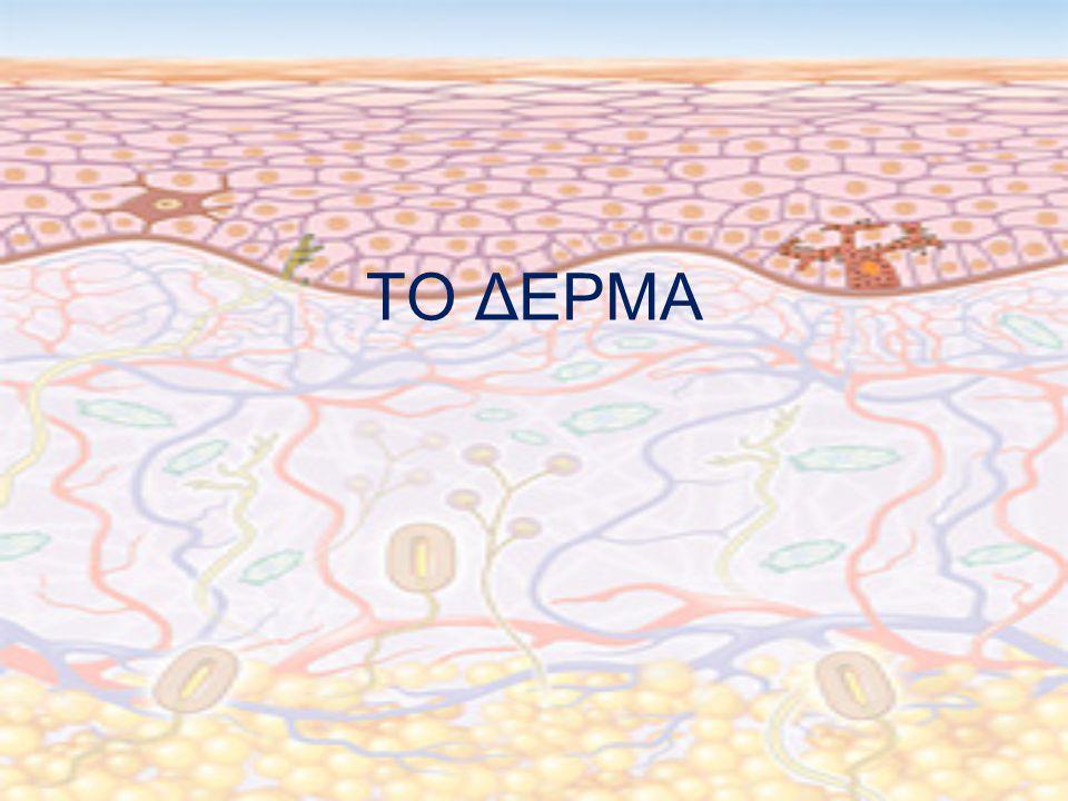 Αγγείωση Δέρματος Το δέρμα αιματώνεται πολύ καλά από τα αγγεία του υποδέρματος, τα οποία σχηματίζουν εκτεταμένο αγγειακό δίκτυο.