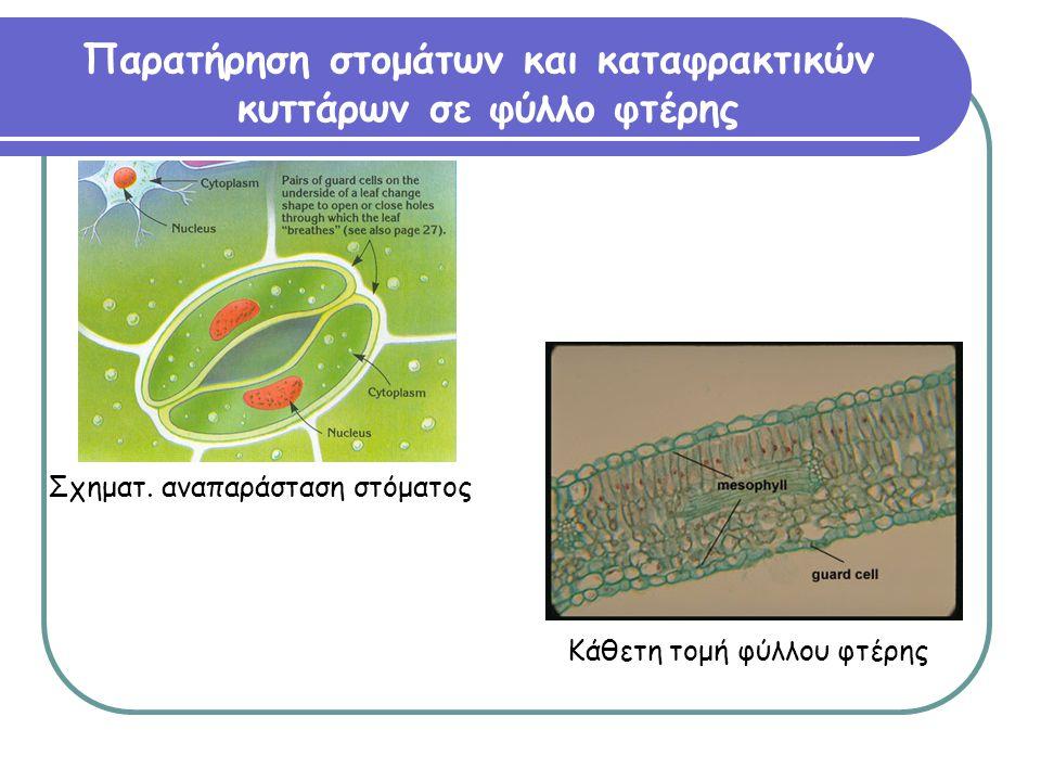 Παρατήρηση στομάτων και καταφρακτικών κυττάρων σε φύλλο φτέρης Κάθετη τομή φύλλου φτέρης Σχηματ.