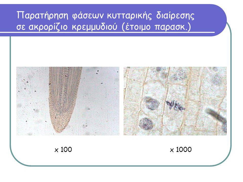 Παρατήρηση φάσεων κυτταρικής διαίρεσης σε ακρορίζιο κρεμμυδιού (έτοιμο παρασκ.) x 100x 1000