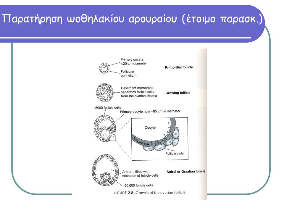 Παρατήρηση ωοθηλακίου αρουραίου (έτοιμο παρασκ.)