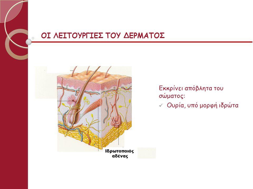 Η ΔΟΜΗ ΤΟΥ ΔΕΡΜΑΤΟΣ subcutaneous Υποδόριος Ιστός Επιδερμίδα Χόριο ή Κυρίως Δέρμα Τρίχα Τριχοθυλάκιο Αιμοφόρα Αγγεία Ιδρωτοποιός Αδένας Σμηγματο - γόνος Αδένας Λείος Μυς Αισθητήριος Νευρώνας Το δέρμα έχει δύο στιβάδες.