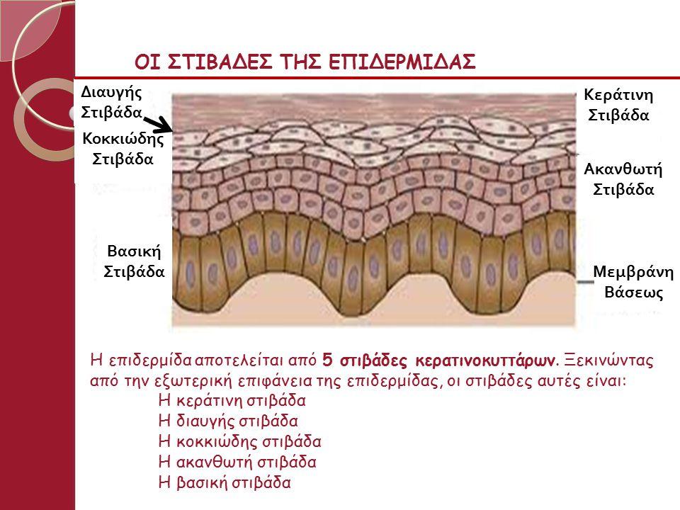 Κεράτινη Διαυγής Κοκκιώδης Βασική Ακανθωτή Χόριο ΒΑΣΙΚΗ ΣΤΙΒΑΔΑ Αποτελείται από μια σειρά κυλινδρικών ή κυβοειδών κυττάρων, τα οποία διαχωρίζονται από το χόριο μέσω της βασικής μεμβράνης (κόκκινη γραμμή στο σχήμα).
