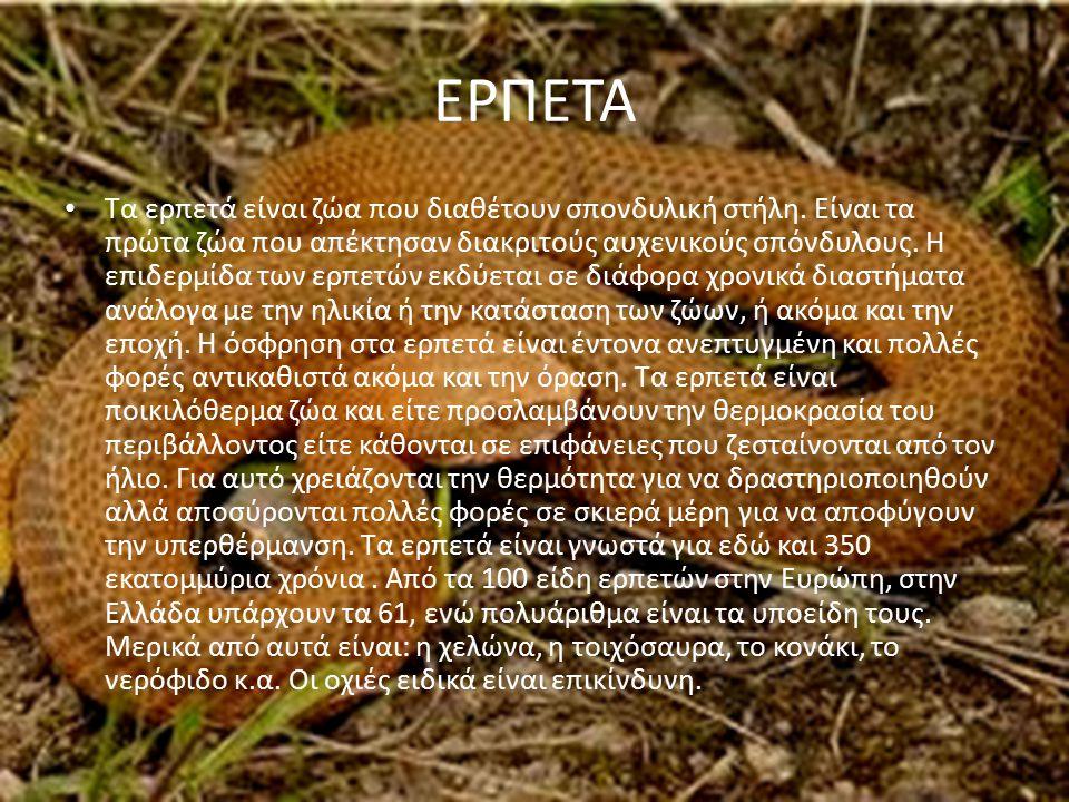 ΕΡΠΕΤΑ Τα ερπετά είναι ζώα που διαθέτουν σπονδυλική στήλη. Είναι τα πρώτα ζώα που απέκτησαν διακριτούς αυχενικούς σπόνδυλους. Η επιδερμίδα των ερπετών