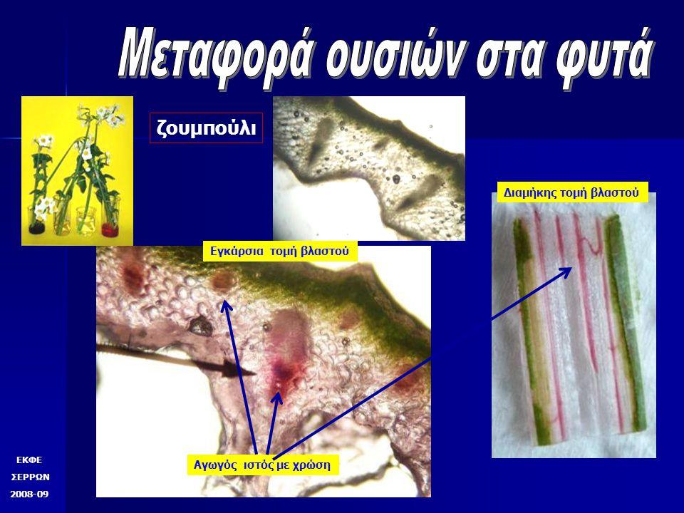 ΕΚΦΕ ΣΕΡΡΩΝ 2008-09  Μετά από λίγες ώρες ή μέρες ανάλογα με το φυτό παρατηρούμε την άνοδο τις χρωστικής στον βλαστό και στα νεύρα των φύλλων