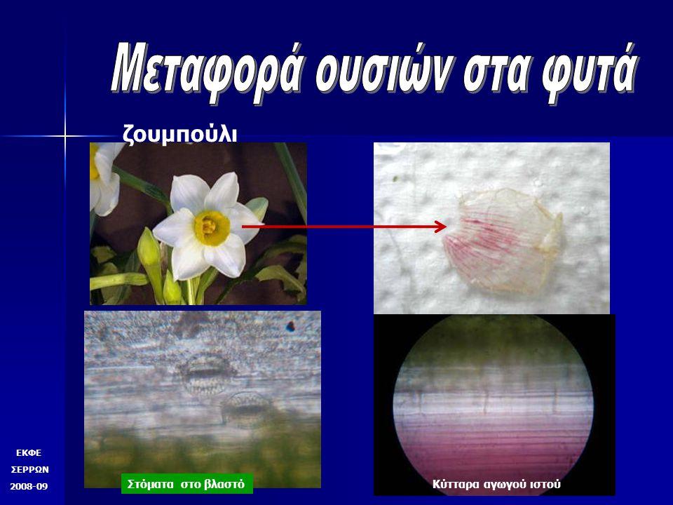 ΕΚΦΕ ΣΕΡΡΩΝ 2008-09 Εγκάρσια τομή βλαστού Διαμήκης τομή βλαστού Αγωγός ιστός με χρώση ζουμπούλι