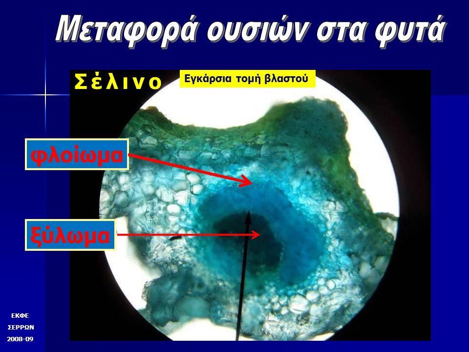 ΕΚΦΕ ΣΕΡΡΩΝ 2008-09 Σέλινο Εγκάρσια τομή βλαστού Αγωγός ιστός χρωματισμένος Αγωγός ιστός μη χρωματισμένος