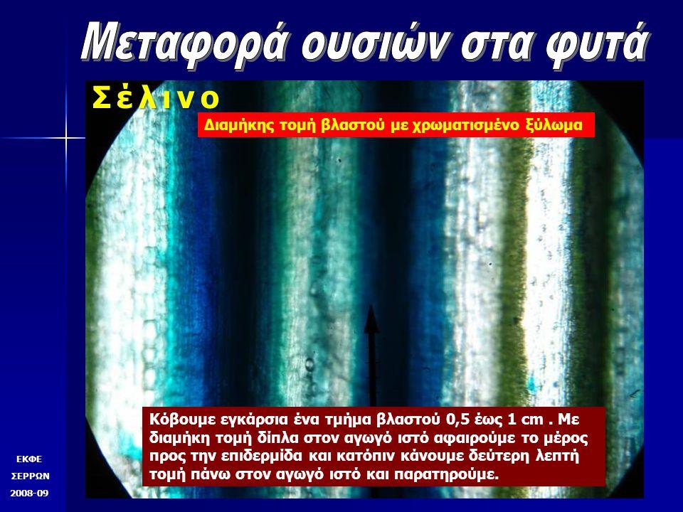 ΕΚΦΕ ΣΕΡΡΩΝ 2008-09 Σέλινο Εγκάρσια τομή βλαστού φλοίωμα ξύλωμα