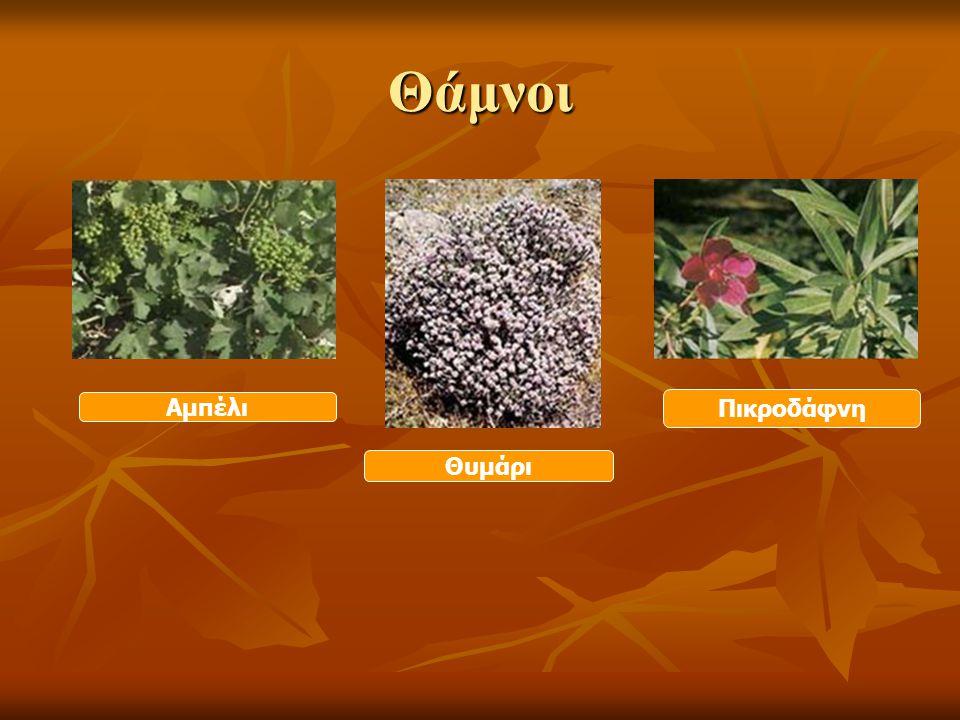 Χαρακτηριστικά των φυτών Μεγάλη διάρκεια ζωής Μεγάλη διάρκεια ζωής Μεγάλο μέγεθος Μεγάλο μέγεθος Σκληρός βλαστός (κορμός) Σκληρός βλαστός (κορμός) (ελιά, αμυγδαλιά, πεύκο …) ΔΕΝΤΡΑ