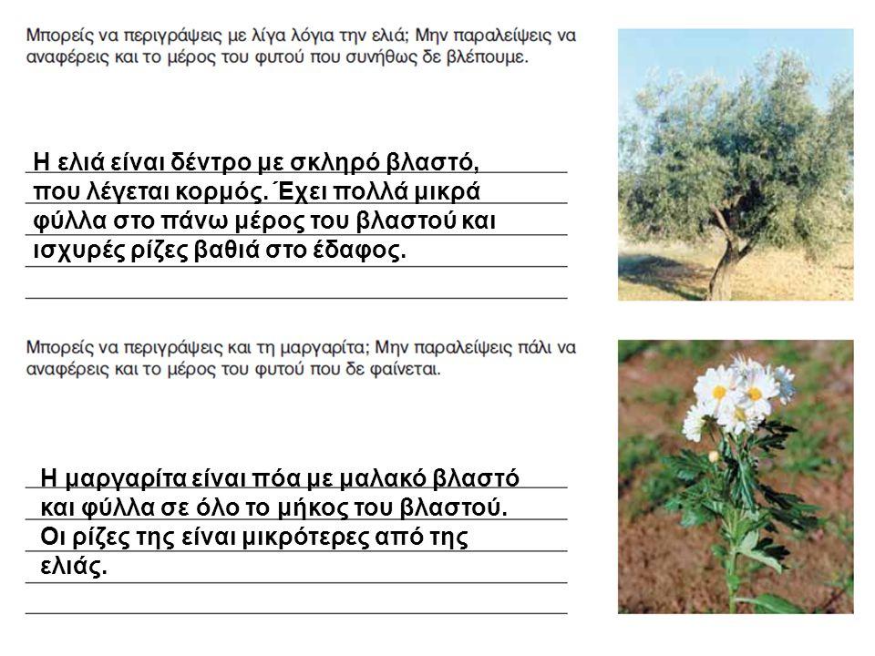 Η ελιά είναι δέντρο με σκληρό βλαστό, που λέγεται κορμός. Έχει πολλά μικρά φύλλα στο πάνω μέρος του βλαστού και ισχυρές ρίζες βαθιά στο έδαφος. Η μαργ