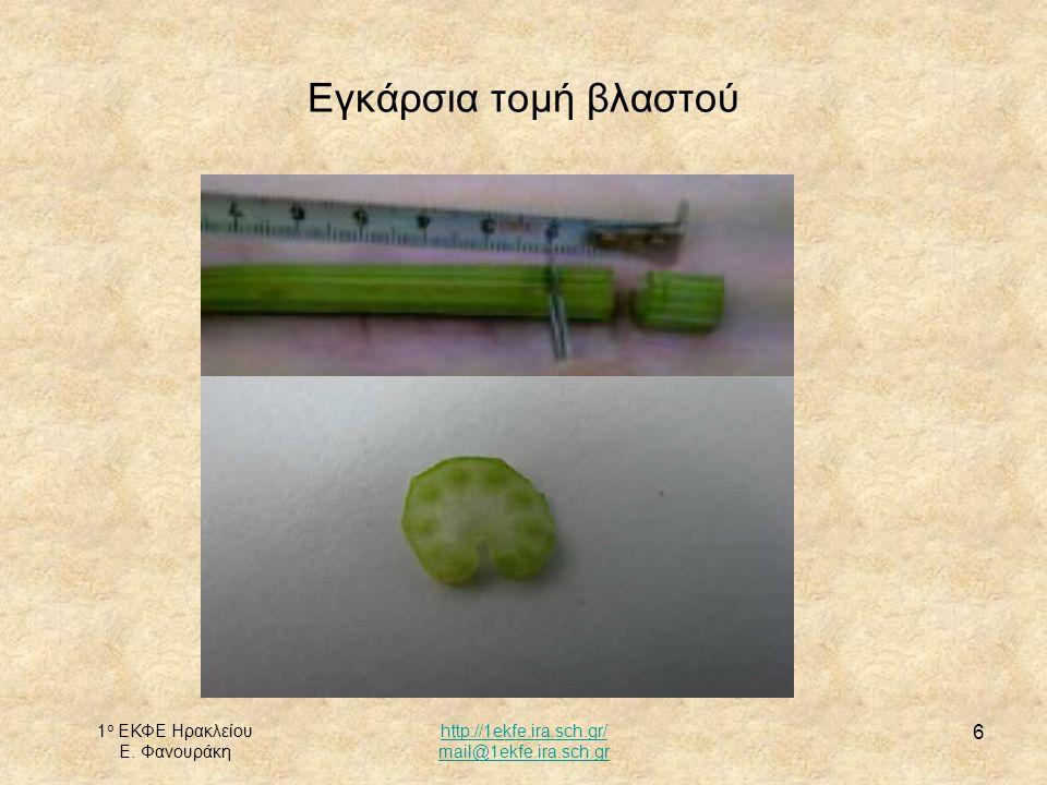 1 ο ΕΚΦΕ Ηρακλείου Ε. Φανουράκη http://1ekfe.ira.sch.gr/ mail@1ekfe.ira.sch.gr 6 Εγκάρσια τομή βλαστού