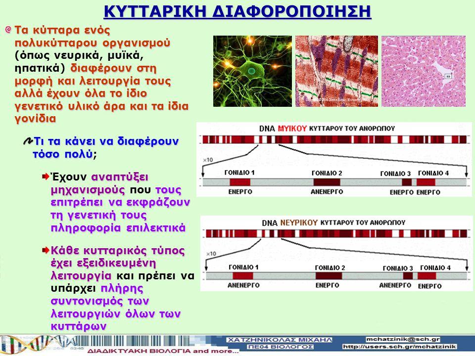 ΚΥΤΤΑΡΙΚΗ ΔΙΑΦΟΡΟΠΟΙΗΣΗ Τα κύτταρα που ανήκουν σε ένα βακτηριακό στέλεχος είναι πανομοιότυπα μεταξύ τους Σε αντίθεση με τα κύτταρα ενός πολυκύτταρου ο