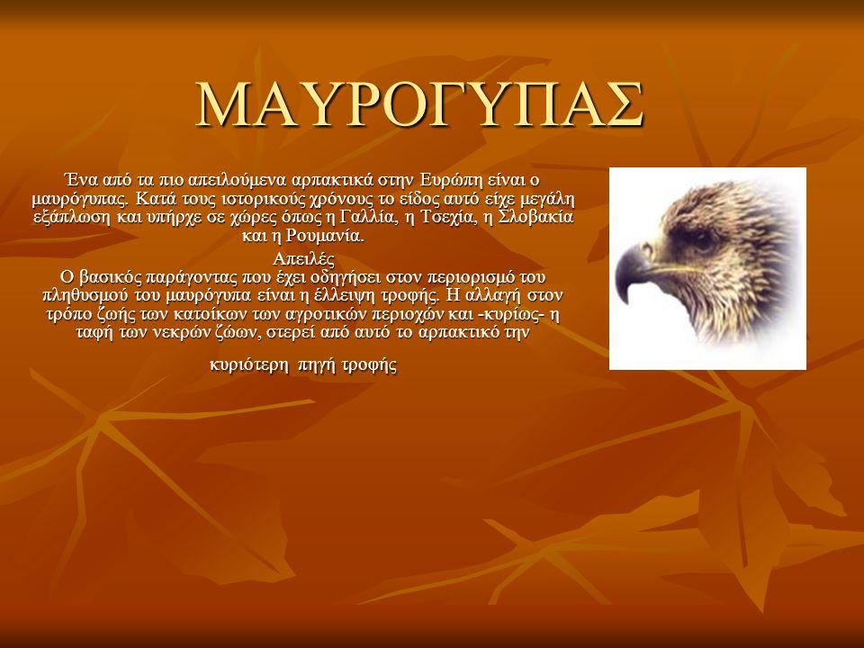 ΜΑΥΡΟΓΥΠΑΣ ΜΑΥΡΟΓΥΠΑΣ Ένα από τα πιο απειλούμενα αρπακτικά στην Ευρώπη είναι ο μαυρόγυπας. Κατά τους ιστορικούς χρόνους το είδος αυτό είχε μεγάλη εξάπ