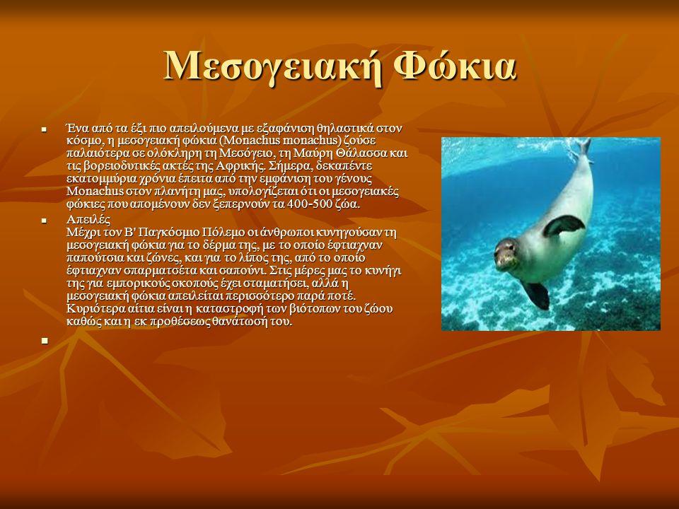 Μεσογειακή Φώκια Ένα από τα έξι πιο απειλούμενα με εξαφάνιση θηλαστικά στον κόσμο, η μεσογειακή φώκια (Monachus monachus) ζούσε παλαιότερα σε ολόκληρη