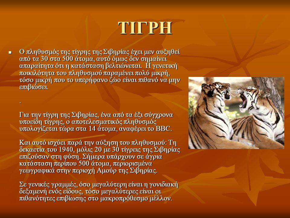 ΤΙΓΡΗ Ο πληθυσμός της τίγρης της Σιβηρίας έχει μεν αυξηθεί από τα 30 στα 500 άτομα, αυτό όμως δεν σημαίνει απαραίτητα ότι η κατάσταση βελτιώνεται. Η γ