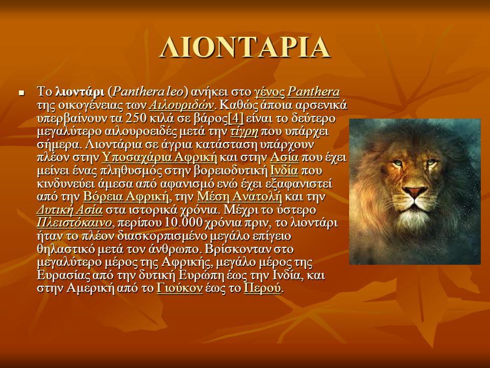 ΛΙΟΝΤΑΡΙΑ Το λιοντάρι (Panthera leo) ανήκει στο γένος Panthera της οικογένειας των Αιλουριδών. Καθώς άποια αρσενικά υπερβαίνουν τα 250 κιλά σε βάρος[4