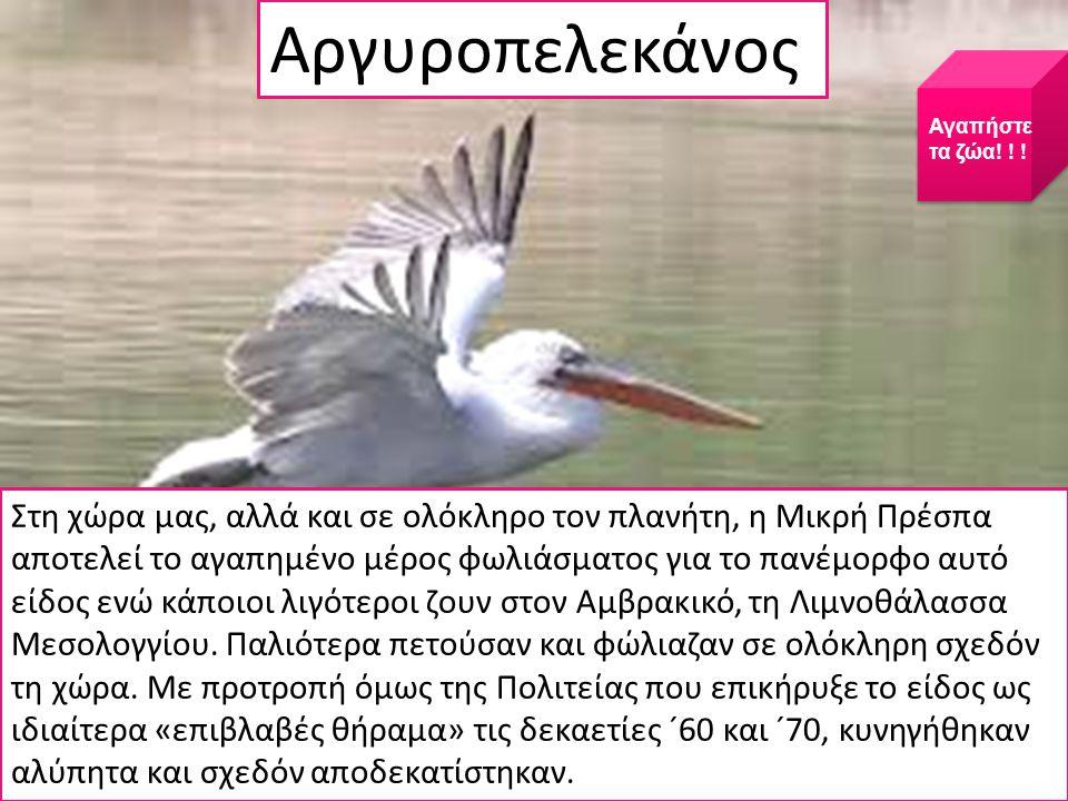 Στη χώρα μας, αλλά και σε ολόκληρο τον πλανήτη, η Μικρή Πρέσπα αποτελεί το αγαπημένο μέρος φωλιάσματος για το πανέμορφο αυτό είδος ενώ κάποιοι λιγότεροι ζουν στον Αμβρακικό, τη Λιμνοθάλασσα Μεσολογγίου.