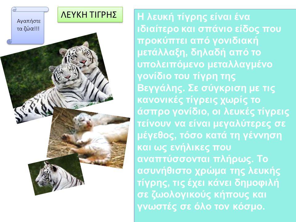 Η λευκή τίγρης είναι ένα ιδιαίτερο και σπάνιο είδος που προκύπτει από γονιδιακή μετάλλαξη, δηλαδή από το υπολειπόμενο μεταλλαγμένο γονίδιο του τίγρη τ