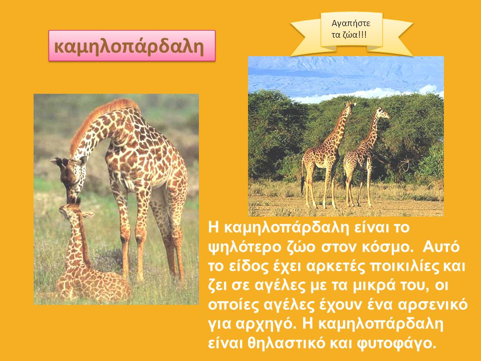 καμηλοπάρδαλη Η καμηλοπάρδαλη είναι το ψηλότερο ζώο στον κόσμο. Αυτό το είδος έχει αρκετές ποικιλίες και ζει σε αγέλες με τα μικρά του, οι οποίες αγέλ
