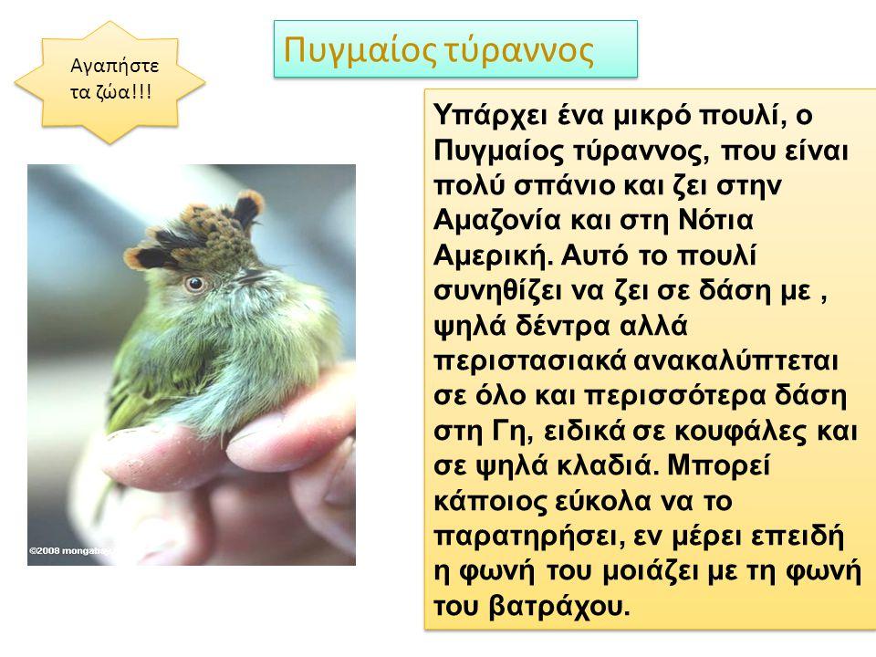 Υπάρχει ένα μικρό πουλί, ο Πυγμαίος τύραννος, που είναι πολύ σπάνιο και ζει στην Αμαζονία και στη Νότια Αμερική. Αυτό το πουλί συνηθίζει να ζει σε δάσ