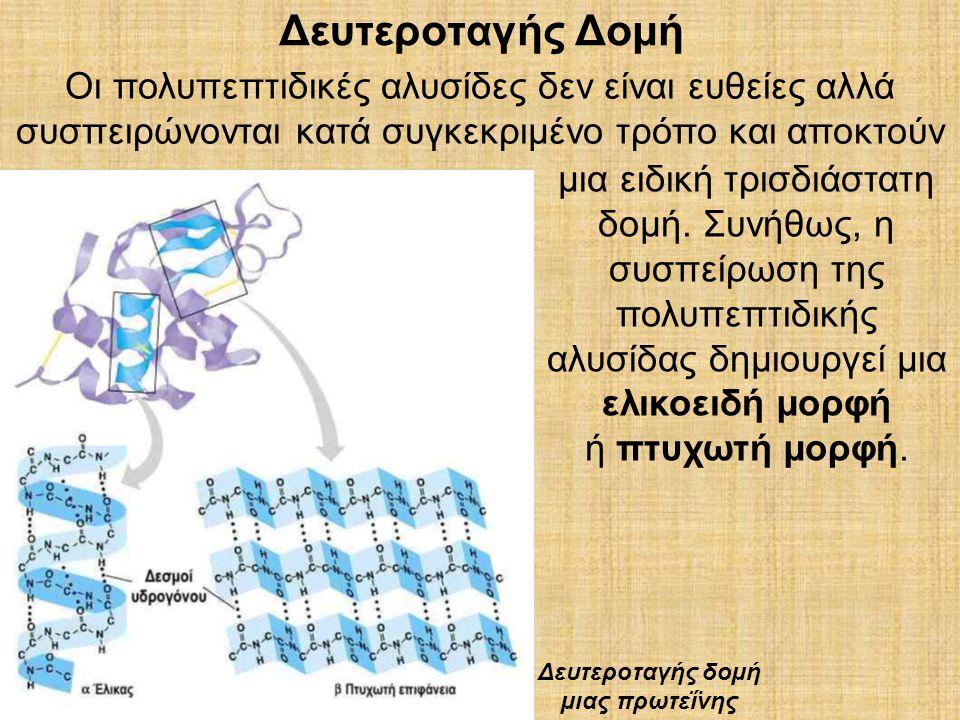 Δευτεροταγής Δομή Οι πολυπεπτιδικές αλυσίδες δεν είναι ευθείες αλλά συσπειρώνονται κατά συγκεκριµένο τρόπο και αποκτούν µια ειδική τρισδιάστατη δοµή.