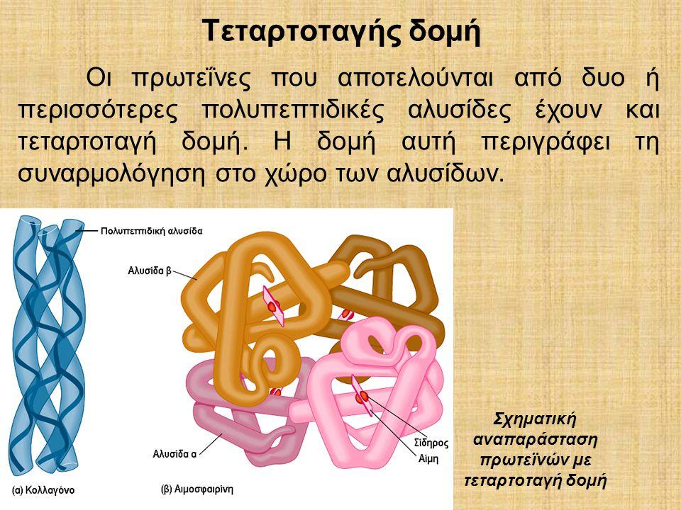 Τεταρτοταγής δοµή Σχηµατική αναπαράσταση πρωτεϊνών µε τεταρτοταγή δοµή Οι πρωτεΐνες που αποτελούνται από δυο ή περισσότερες πολυπεπτιδικές αλυσίδες έχ