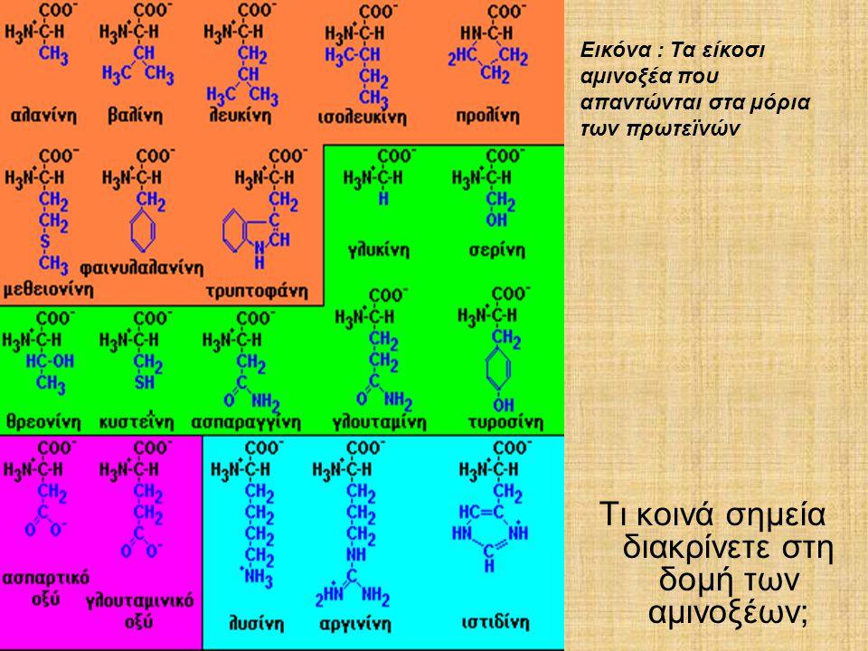 Τι κοινά σημεία διακρίνετε στη δομή των αμινοξέων; Εικόνα : Τα είκοσι αµινοξέα που απαντώνται στα µόρια των πρωτεϊνών
