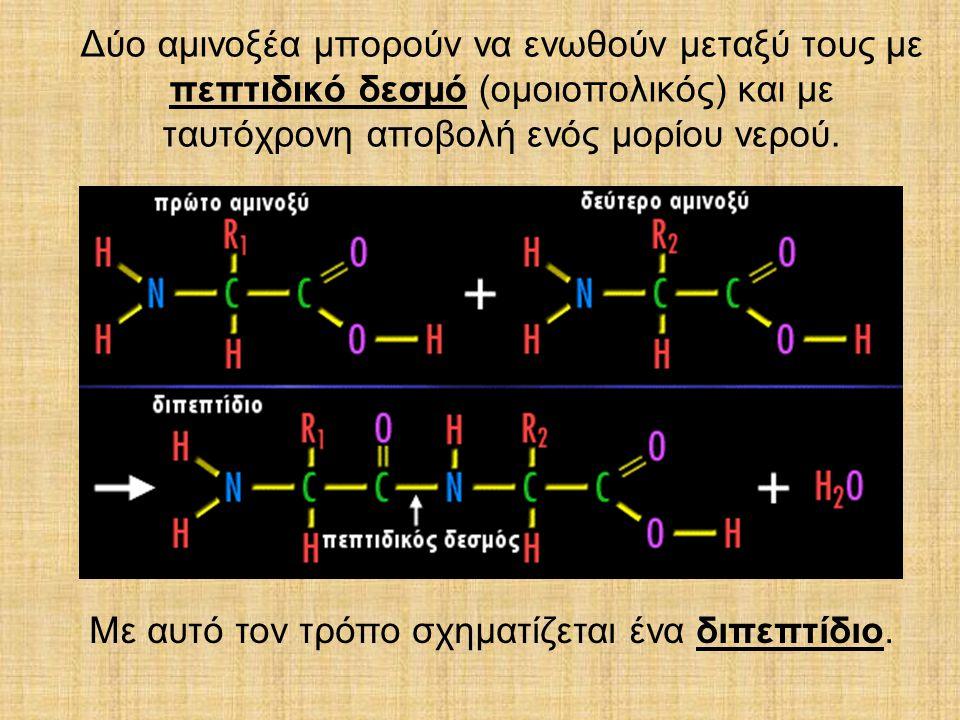 Δύο αµινοξέα µπορούν να ενωθούν µεταξύ τους µε πεπτιδικό δεσµό (οµοιοπολικός) και µε ταυτόχρονη αποβολή ενός µορίου νερού. Με αυτό τον τρόπο σχηµατίζε