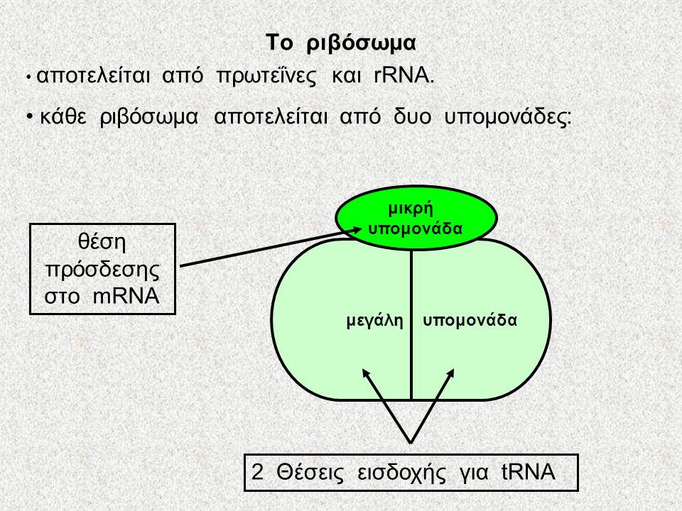 Η μετάφραση πραγματοποιείται στα ριβοσώματα Τα ριβοσώματα μπορούν να χρησιμοποιηθούν σαν βάση για την μετάφραση οποιουδήποτε mRNA ⇨………….. Απαραίτητα σ