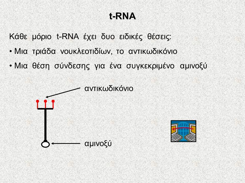 Το ριβόσωμα αποτελείται από πρωτεΐνες και rRNA. κάθε ριβόσωμα αποτελείται από δυο υπομονάδες: υπομονάδα μεγάλη μικρή υπομονάδα 2 Θέσεις εισδοχής για t