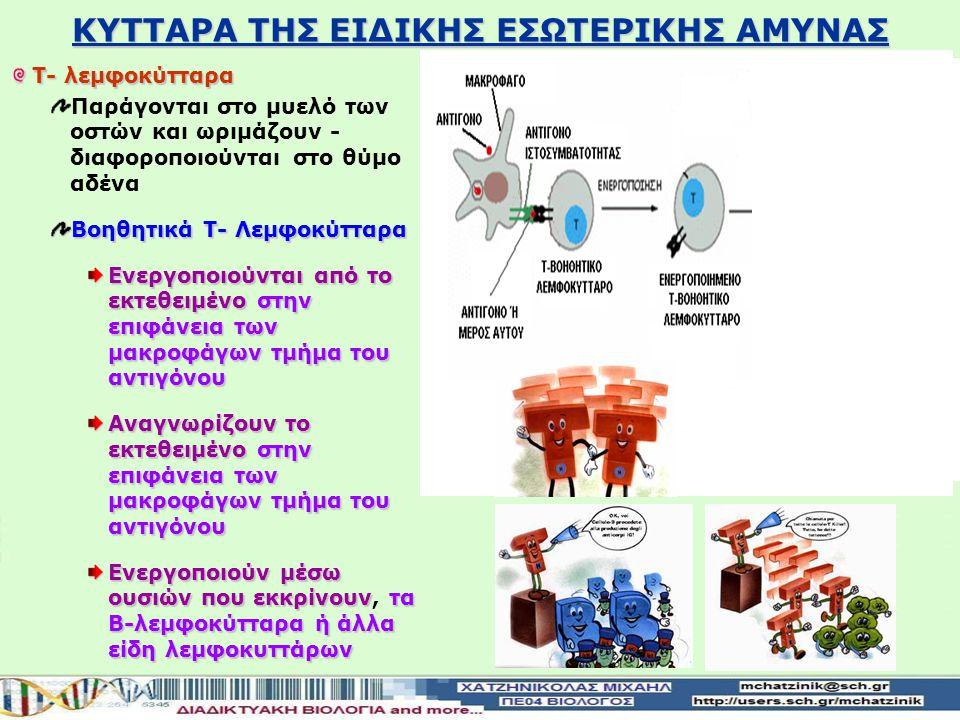 ΚΥΤΤΑΡΑ ΤΗΣ ΕΙΔΙΚΗΣ ΕΣΩΤΕΡΙΚΗΣ ΑΜΥΝΑΣ Τ- λεμφοκύτταρα Παράγονται στο μυελό των οστών και ωριμάζουν - διαφοροποιούνται στο θύμο αδένα Βοηθητικά Τ- Λεμφοκύτταρα Ενεργοποιούνται από το εκτεθειμένο στην επιφάνεια των μακροφάγων τμήμα του αντιγόνου Αναγνωρίζουν το εκτεθειμένο στην επιφάνεια των μακροφάγων τμήμα του αντιγόνου Ενεργοποιούν μέσω ουσιών που εκκρίνουν τα Β-λεμφοκύτταρα ή άλλα είδη λεμφοκυττάρων Ενεργοποιούν μέσω ουσιών που εκκρίνουν, τα Β-λεμφοκύτταρα ή άλλα είδη λεμφοκυττάρων