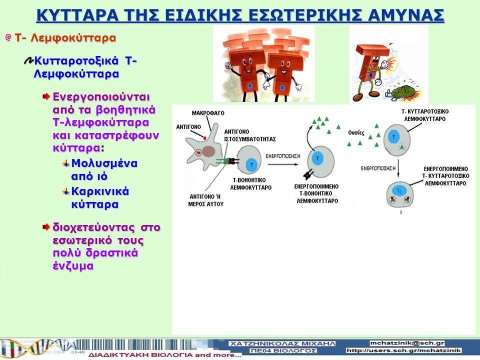 ΣΤΑΔΙΑ ΠΡΩΤΟΓΕΝΗΣ ΑΝΟΣΟΒΙΟΛΟΓΙΚΗΣ ΑΠΟΚΡΙΣΗΣ 2ο στάδιο της ΚΥΤΤΑΡΙΚΗΣ ΑΝΟΣΙΑΣ Ενεργοποίηση των κυτταροτοξικών Τ-λεμφοκυττάρων εκκρίνουν ουσίες ανάλογα το αντιγόνο που αναγνωρίζουν Τα ενεργοποιημένα βοηθητικά Τ- λεμφοκύτταρα εκκρίνουν ουσίες ανάλογα το αντιγόνο που αναγνωρίζουν: Κύτταρο μολυσμένο από ιό, καρκινικό κύτταρο, κύτταρο μεταμοσχευμένου ιστού Αυτές οι ουσίες ενεργοποιούν τα κυτταροτοξικά Τ- λεμφοκύτταρα τα οποία πολλαπλασιάζονται Καταστρέφουν τα κύτταρα- στόχους διοχετεύοντας στο εσωτερικό τους δραστικά ένζυμα Παράγονται και τα κυτταροτοξικά Τ-λεμφοκύτταρα μνήμης θα ενεργοποιηθούν σε περίπτωση που ο οργανισμός θα εκτεθεί και πάλι στο ίδιο αντιγόνο Παράγονται και τα κυτταροτοξικά Τ-λεμφοκύτταρα μνήμης που θα ενεργοποιηθούν σε περίπτωση που ο οργανισμός θα εκτεθεί και πάλι στο ίδιο αντιγόνο