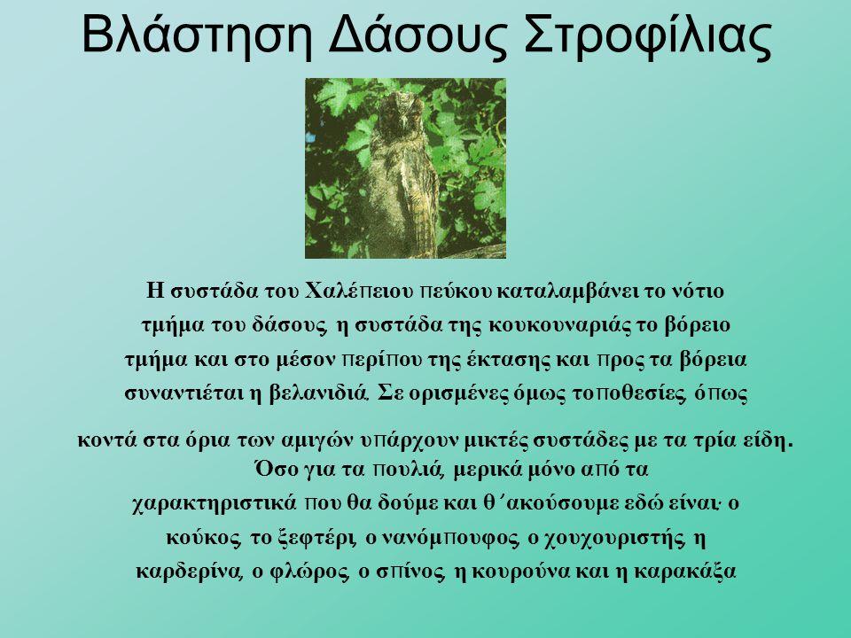 Βλάστηση Δάσους Στροφίλιας Η συστάδα του Χαλέ π ειου π εύκου καταλαμβάνει το νότιο τμήμα του δάσους, η συστάδα της κουκουναριάς το βόρειο τμήμα και στ