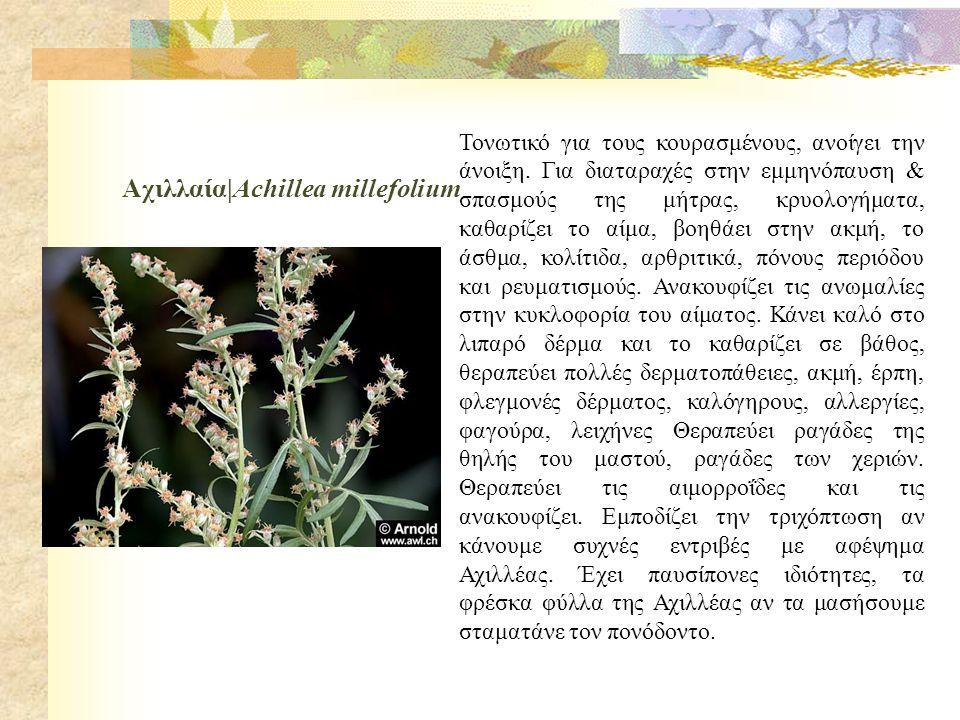 Αχιλλαία|Achillea millefolium Τονωτικό για τους κουρασμένους, ανοίγει την άνοιξη.