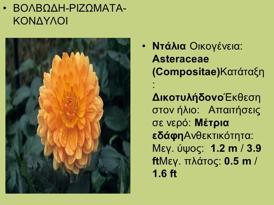 ΒΟΛΒΩΔΗ-ΡΙΖΩΜΑΤΑ- ΚΟΝΔΥΛΟΙ Ντάλια Οικογένεια: Asteraceae (Compositae)Κατάταξη : ΔικοτυλήδονοΈκθεση στον ήλιο: Απαιτήσεις σε νερό: Μέτρια εδάφηΑνθεκτικ