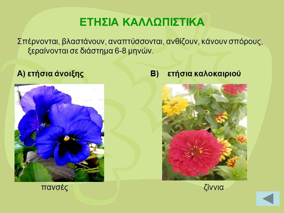 ΕΤΗΣΙΑ ΚΑΛΛΩΠΙΣΤΙΚΑ Σπέρνονται, βλαστάνουν, αναπτύσσονται, ανθίζουν, κάνουν σπόρους, ξεραίνονται σε διάστημα 6-8 μηνών. Α) ετήσια άνοιξης Β) ετήσια κα
