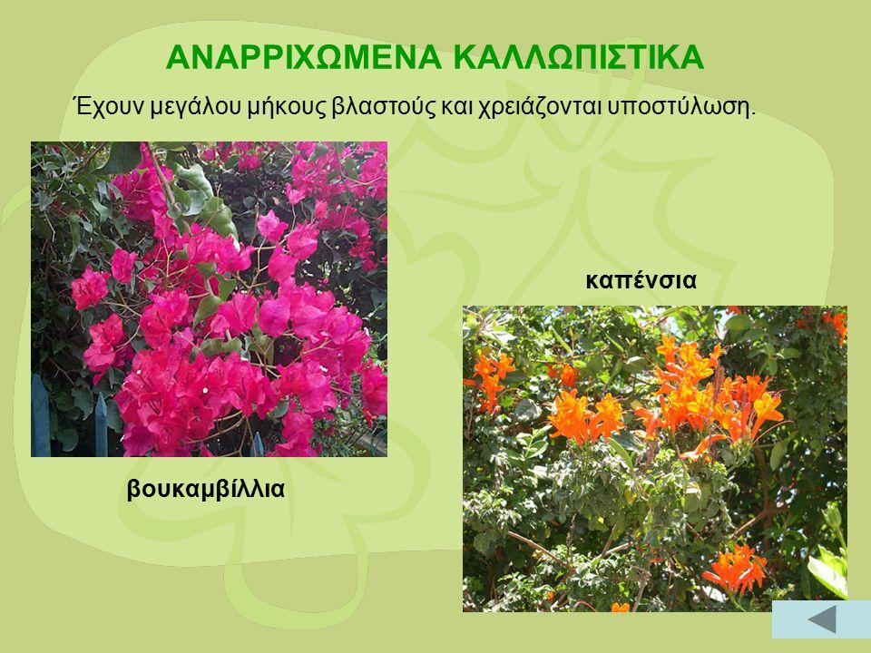 ΑΕΙΘΑΛΗ, ΘΑΜΝΩΔΗ ΚΑΛΛΩΠΙΣΤΙΚΑ Πολυετή ξυλώδη φυτά με μικρό σχετικά ύψος και πλούσια βλάστηση όλο το χρόνο.