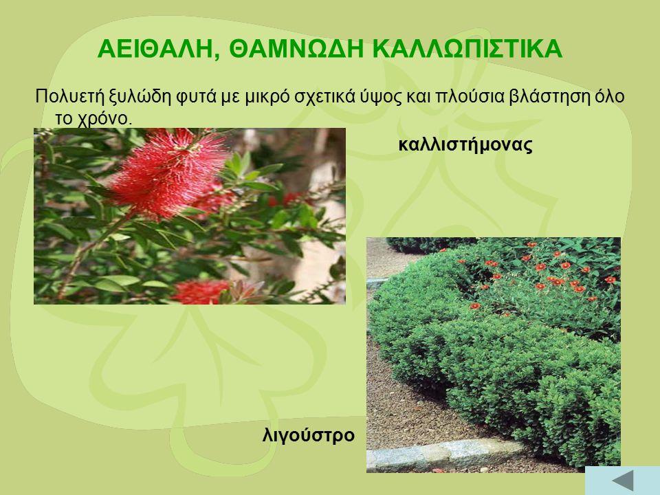 ΑΕΙΘΑΛΗ, ΘΑΜΝΩΔΗ ΚΑΛΛΩΠΙΣΤΙΚΑ Πολυετή ξυλώδη φυτά με μικρό σχετικά ύψος και πλούσια βλάστηση όλο το χρόνο. καλλιστήμονας λιγούστρο
