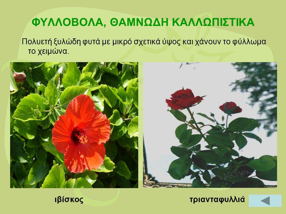 ΦΥΛΛΟΒΟΛΑ, ΘΑΜΝΩΔΗ ΚΑΛΛΩΠΙΣΤΙΚΑ Πολυετή ξυλώδη φυτά με μικρό σχετικά ύψος και χάνουν το φύλλωμα το χειμώνα. ιβίσκος τριανταφυλλιά