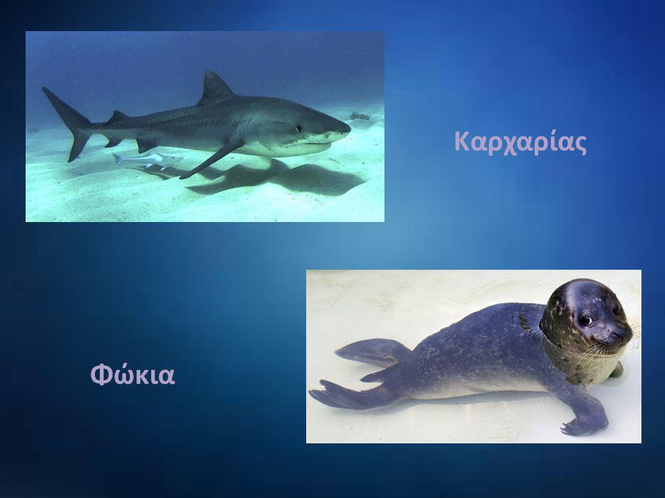 Καρχαρίας Φώκια