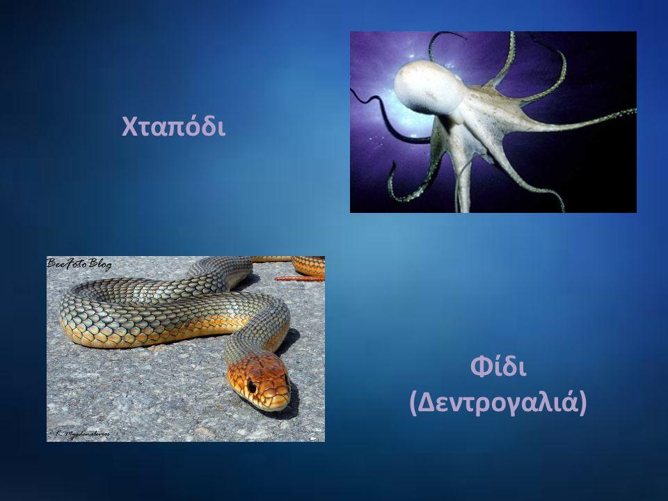 Χταπόδι Φίδι (Δεντρογαλιά)